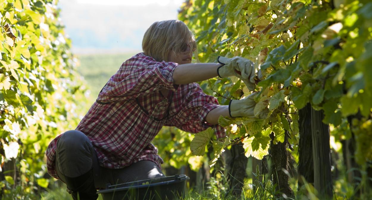 Vendanges_Alsace ©Meyer - Conseil Vin Alsace