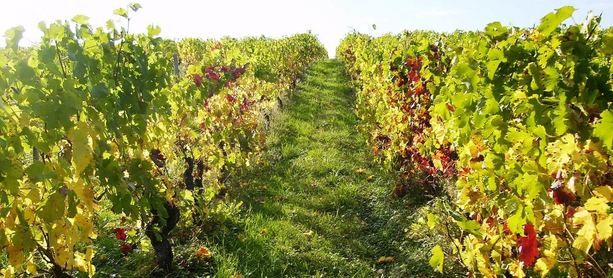 Balade Vigne Circuit Vendanges Aurore des Vins