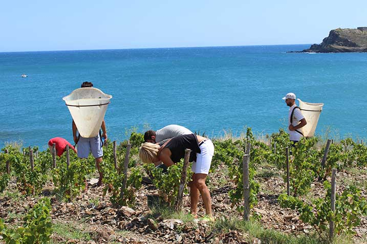 Harvest in the roussillon vineyards on the mediterranean sea Maison Cazes Advini ©Clos de paulilles