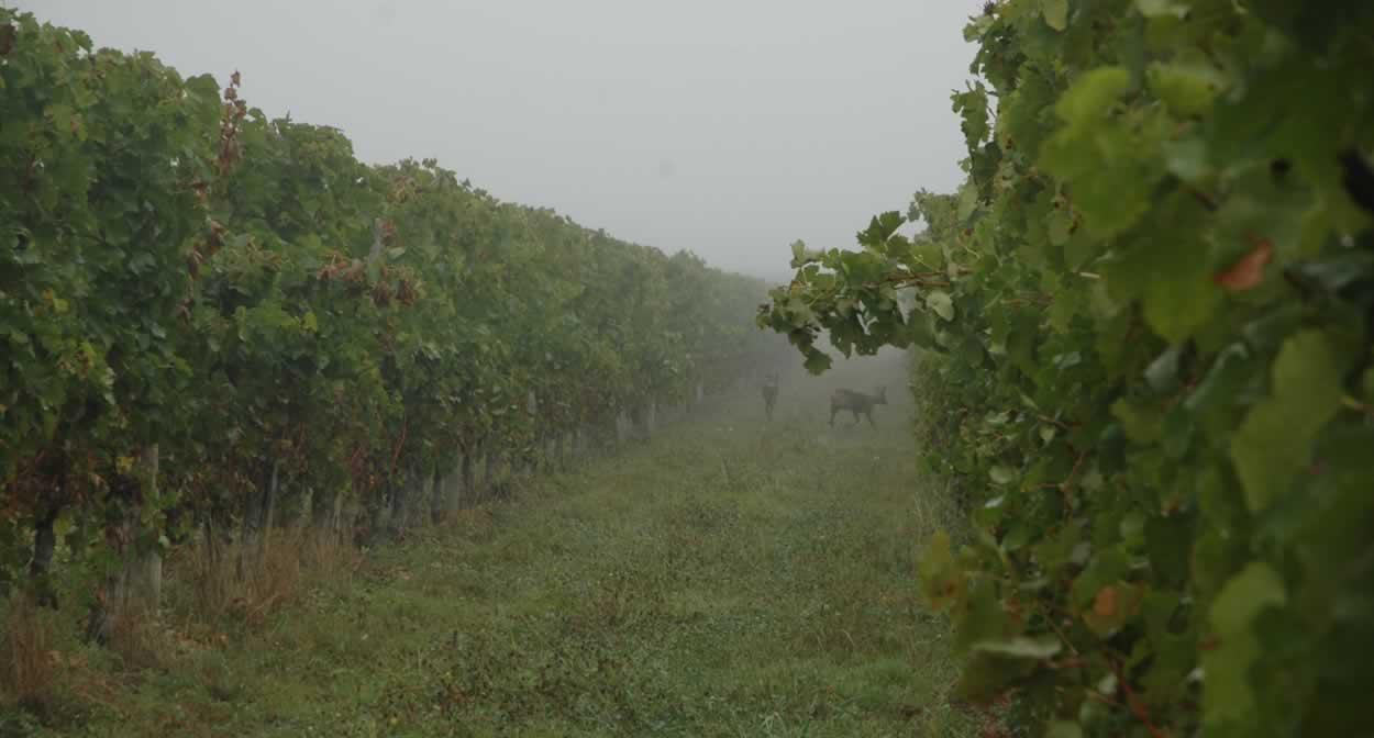 Entre les vignes © Domaine de la Queyssie