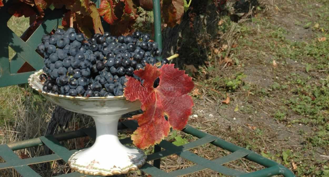 Les cépages du vin de la Queyssie © Domaine de la Queyssie