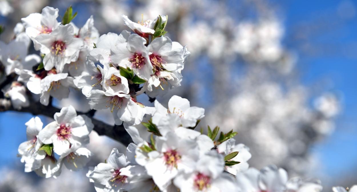 Les amandiers en fleurs © François Xavier Emery, OTC DLVA