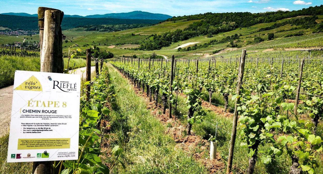 Balade à vélo dans les vignes et dégustation de vins en Alsace ©Riefle