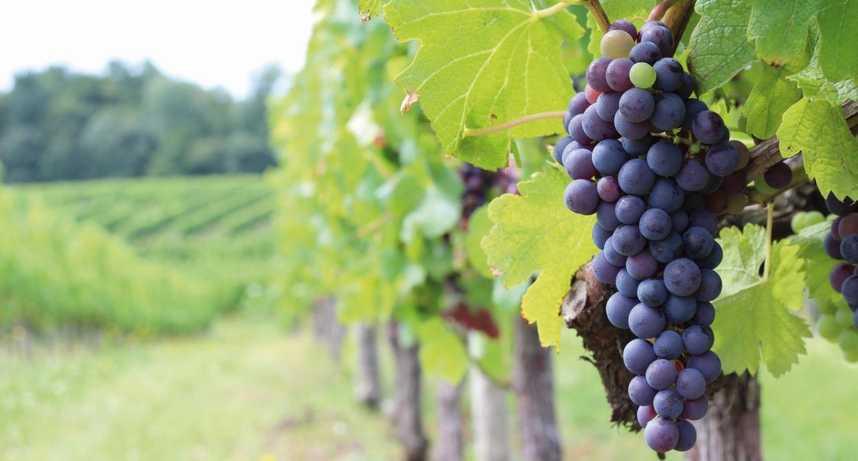 Vignes et cépages du Médoc © Ophorus