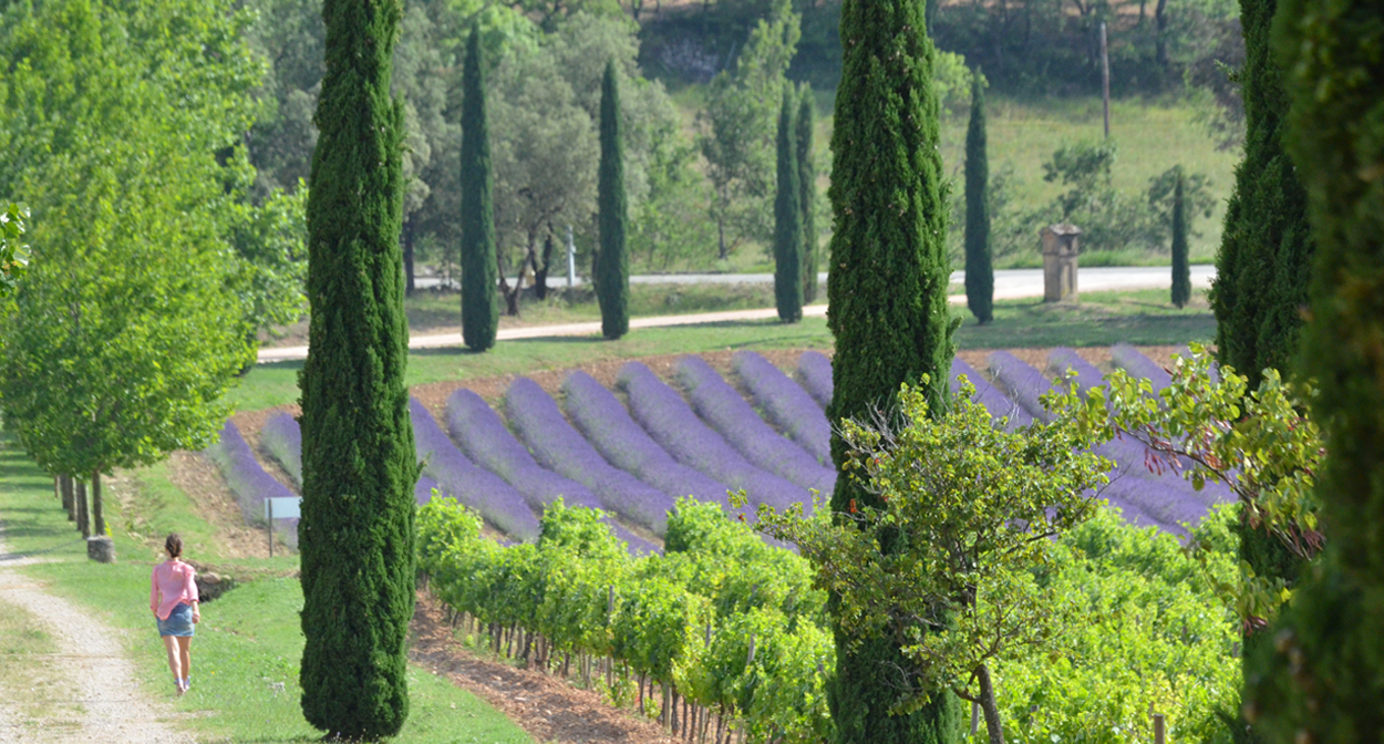 Vineyard of Provence