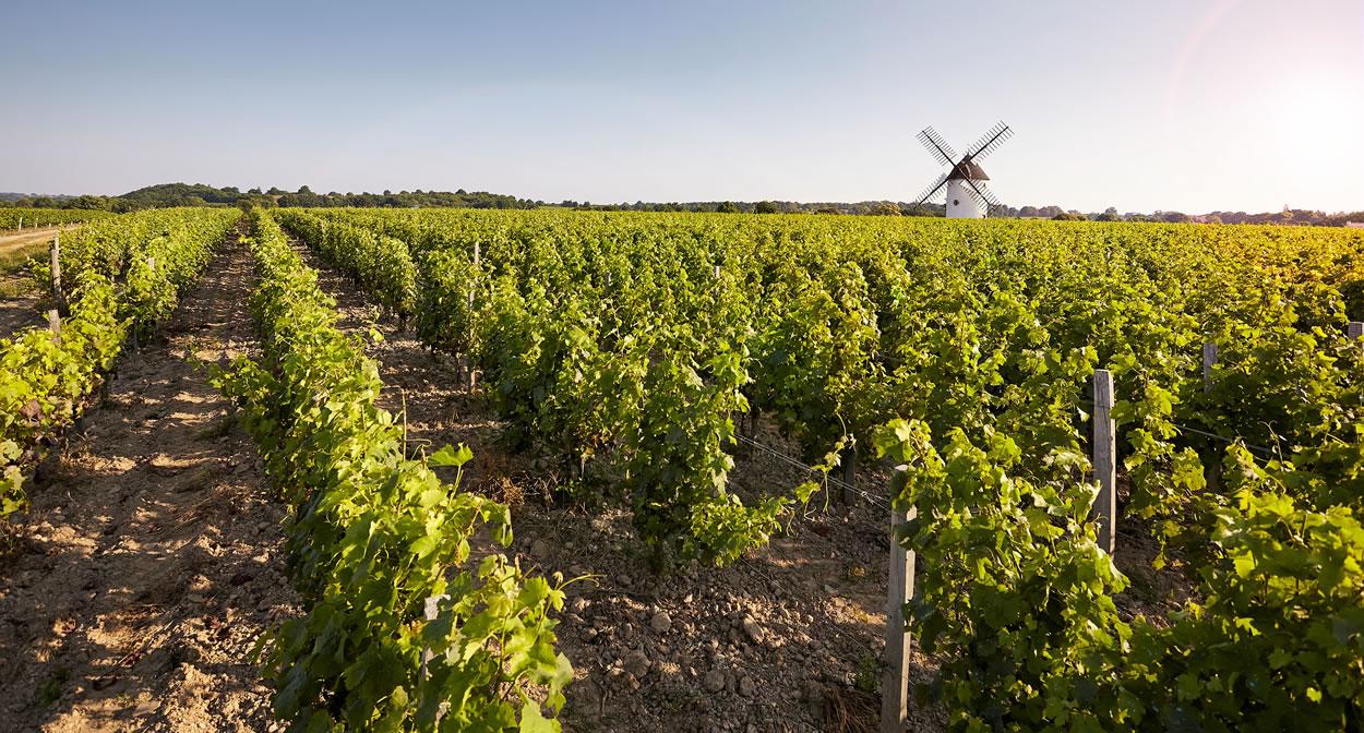 Champ de vignes ©A. Lamoureux - Vendée Expansion