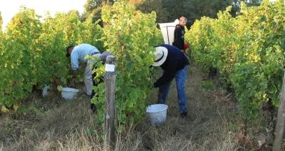Les vignes à l'heure des vendanges © sarl Château de Tracy