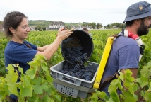 Book your Vendanges Experience and learn the entire vendanges process © Château de Pommard