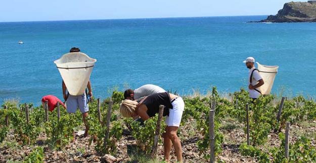 Harvest in the roussillon vineyards on the mediterranean sea Maison Cazes Advini ©Clos de paulilles