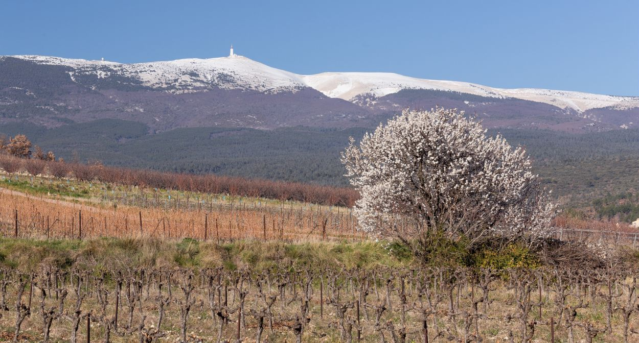 Vines at the foot of Mont Ventoux © David Bouscarle