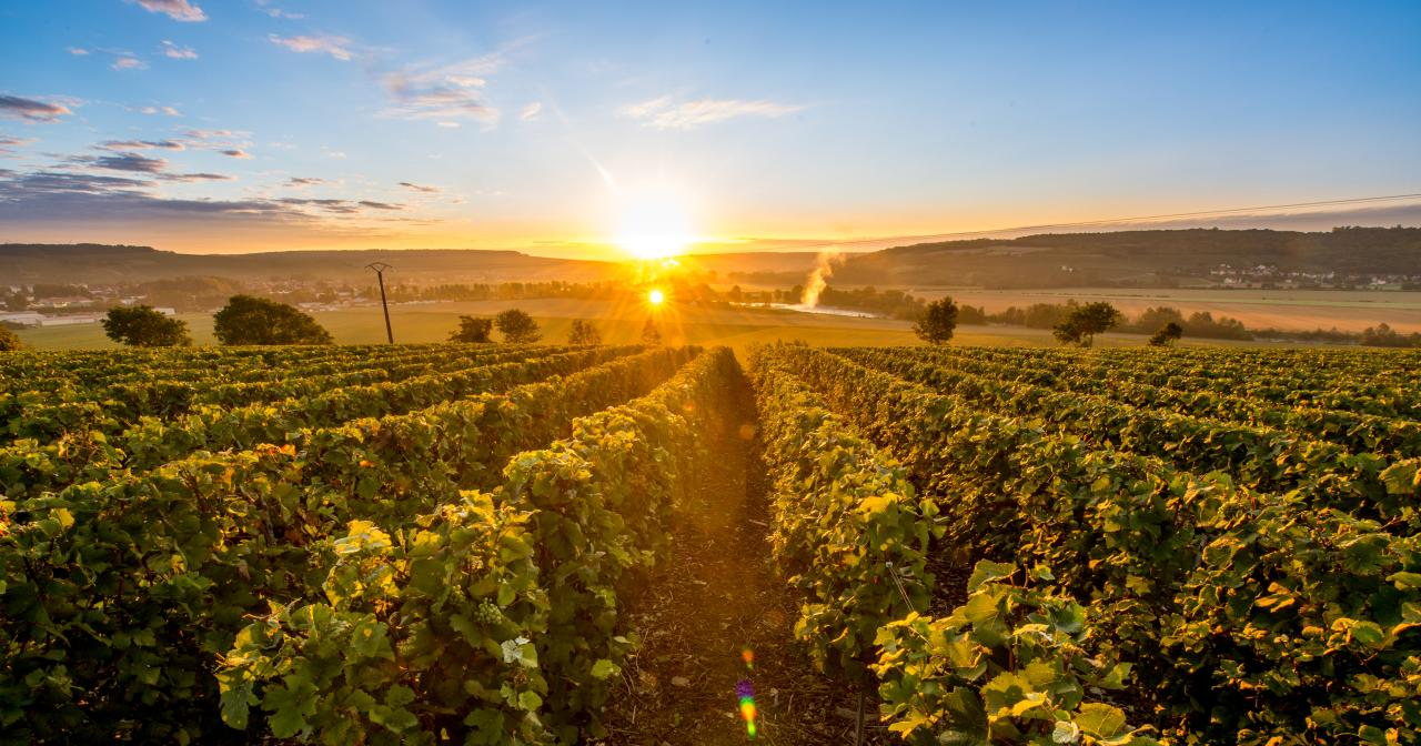 Champagne Vineyard ©Ilovechampagne.fr